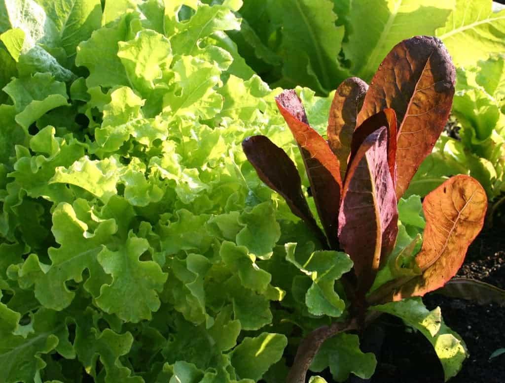 grow lettuce in your garden