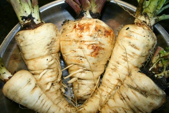 picture of growing parsnips recently harvested
