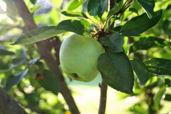 apple-on-tree-Summer-Solstice