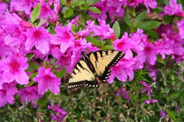 butterfly-on-pink-azalea