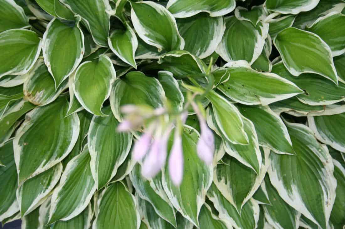 growing hosta plants picture