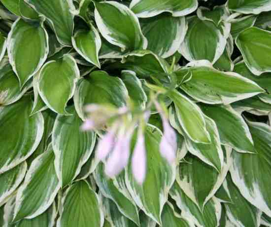 growing hosta plants picture