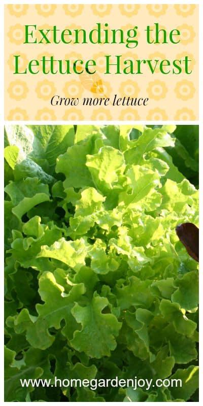 extending the lettuce harvest