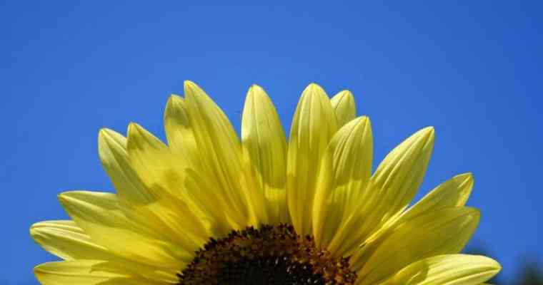 Sunflower Facts and Fun