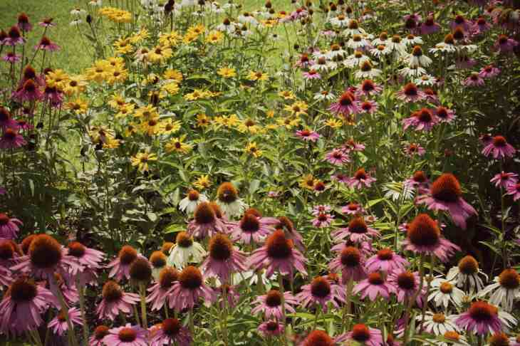 A field of coneflowers!