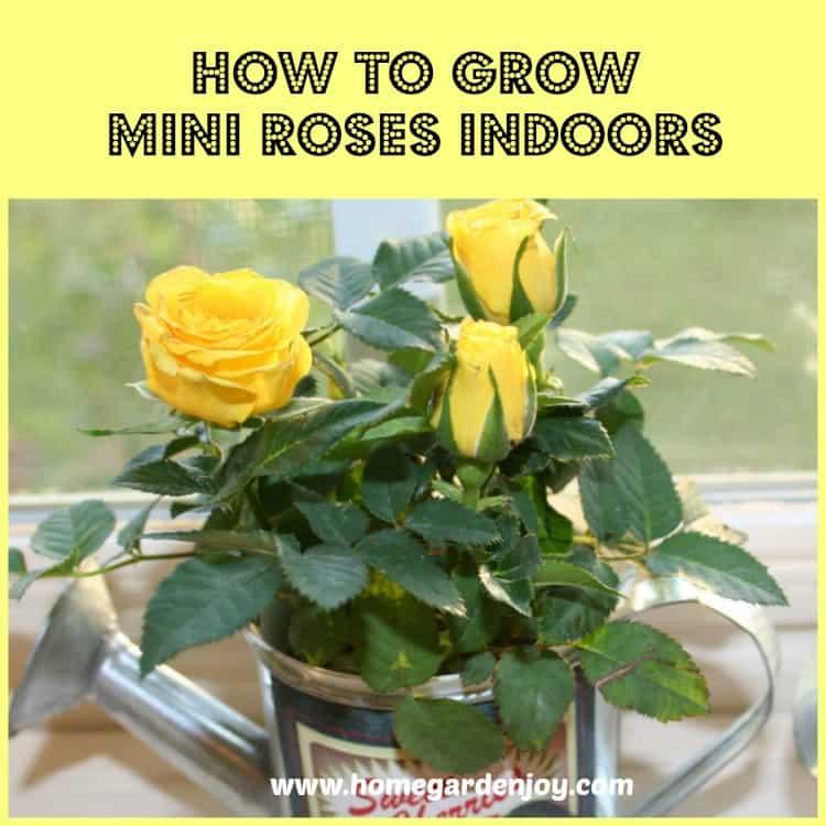 grow mini roses indoors