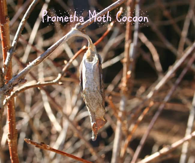 prometha moth cocoon