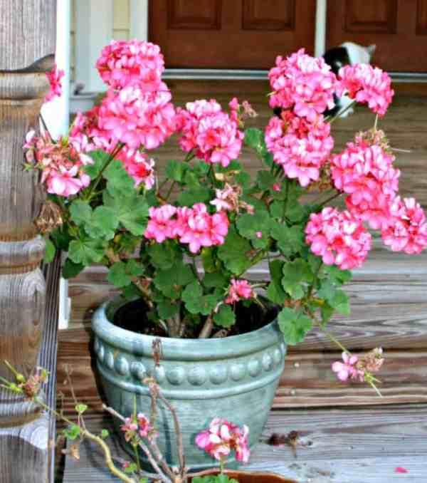 pot of geraniums