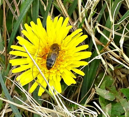 spring dandelion with bee