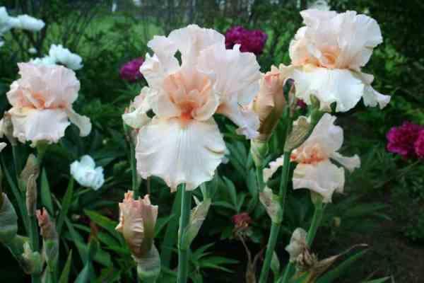 Beverly Sills Iris, White Peonies