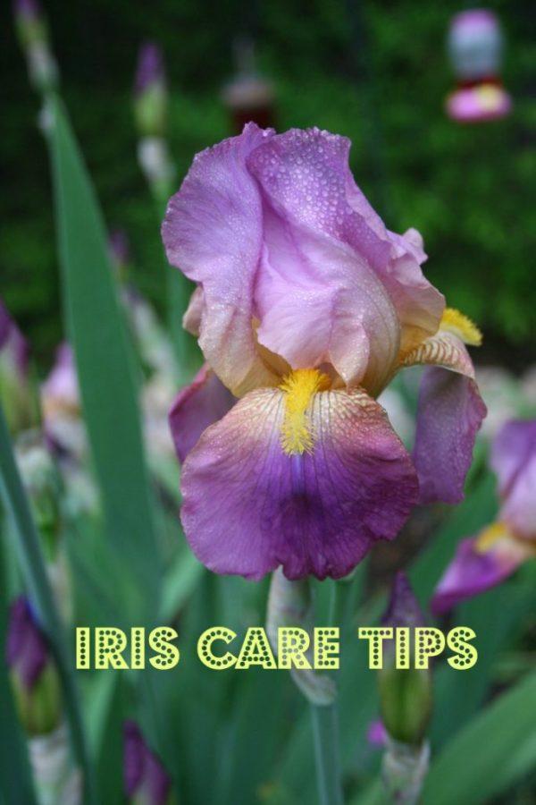 iris care