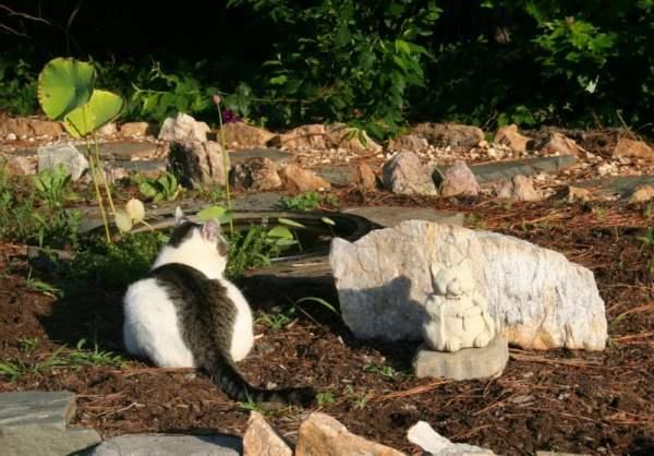 Shy Boy Buddha Kitty pond