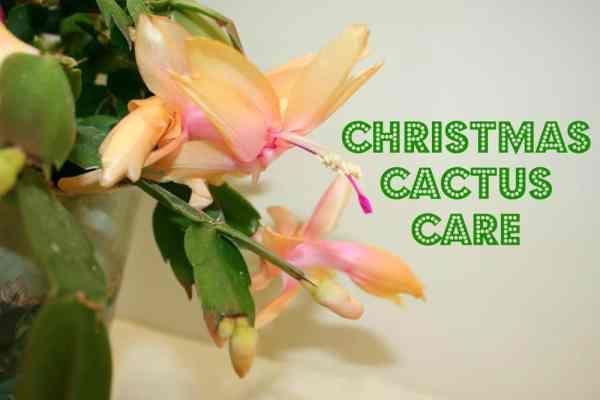 Christmas cac