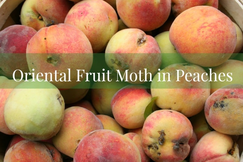 Oriental fruit moth in peaches