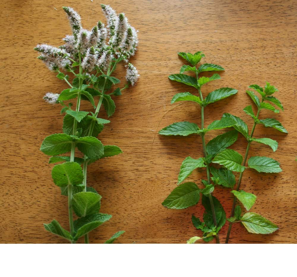 Three Types of Mint
