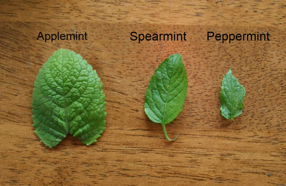 identify types of mint