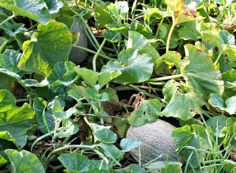 cantaloupe in the garden
