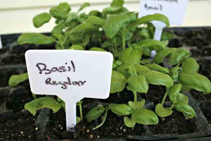 Genovese basil for small herb gardens.
