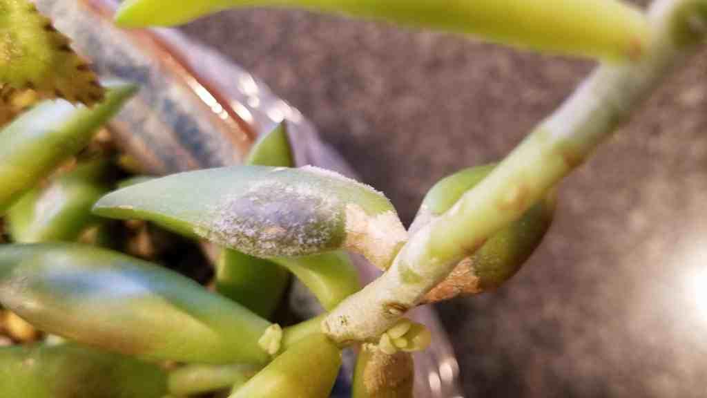 brown spot on succulent plant