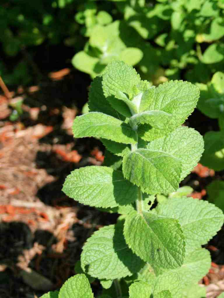 close up of apple mint plant