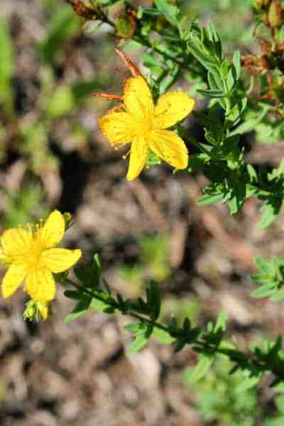 a photo of the St. John's Wort plant