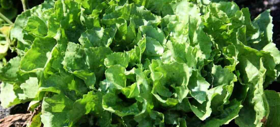 Easy Tips to Grow and Enjoy Escarole