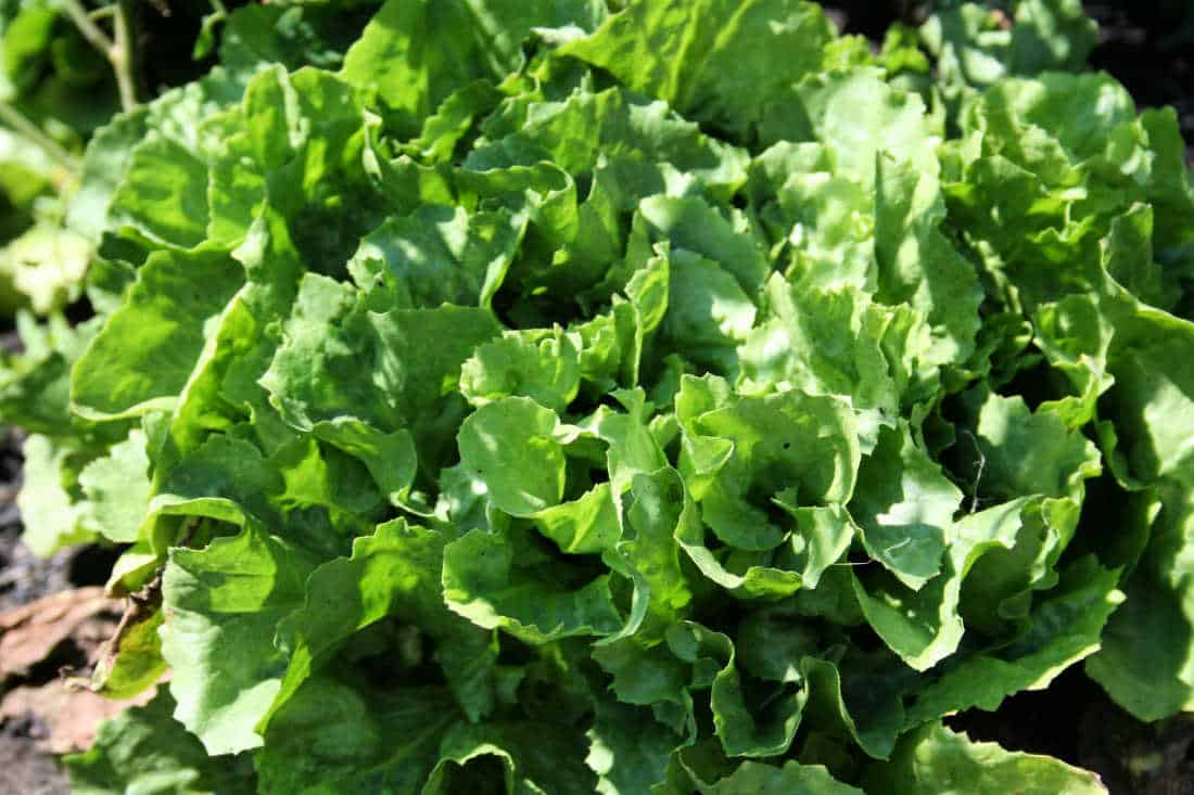 a picture of escarole or endive