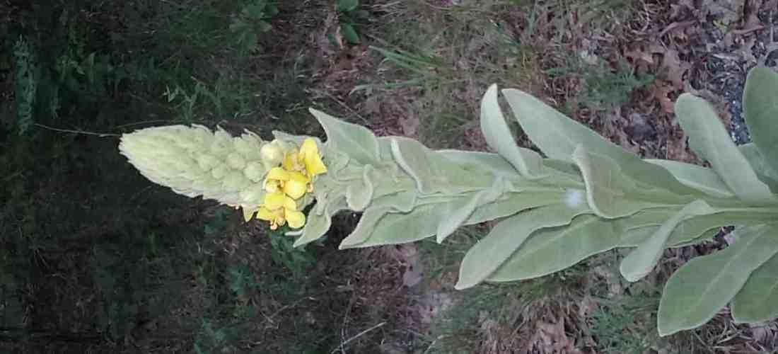 Mullein in Herbal Medicine
