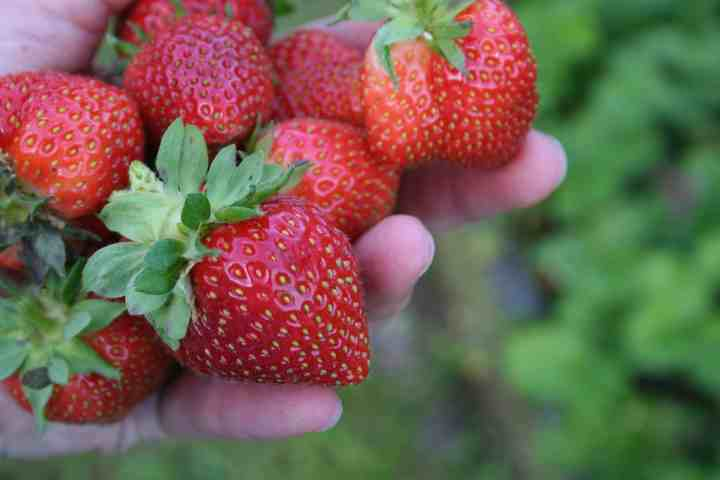 strawberries in a woman's hand