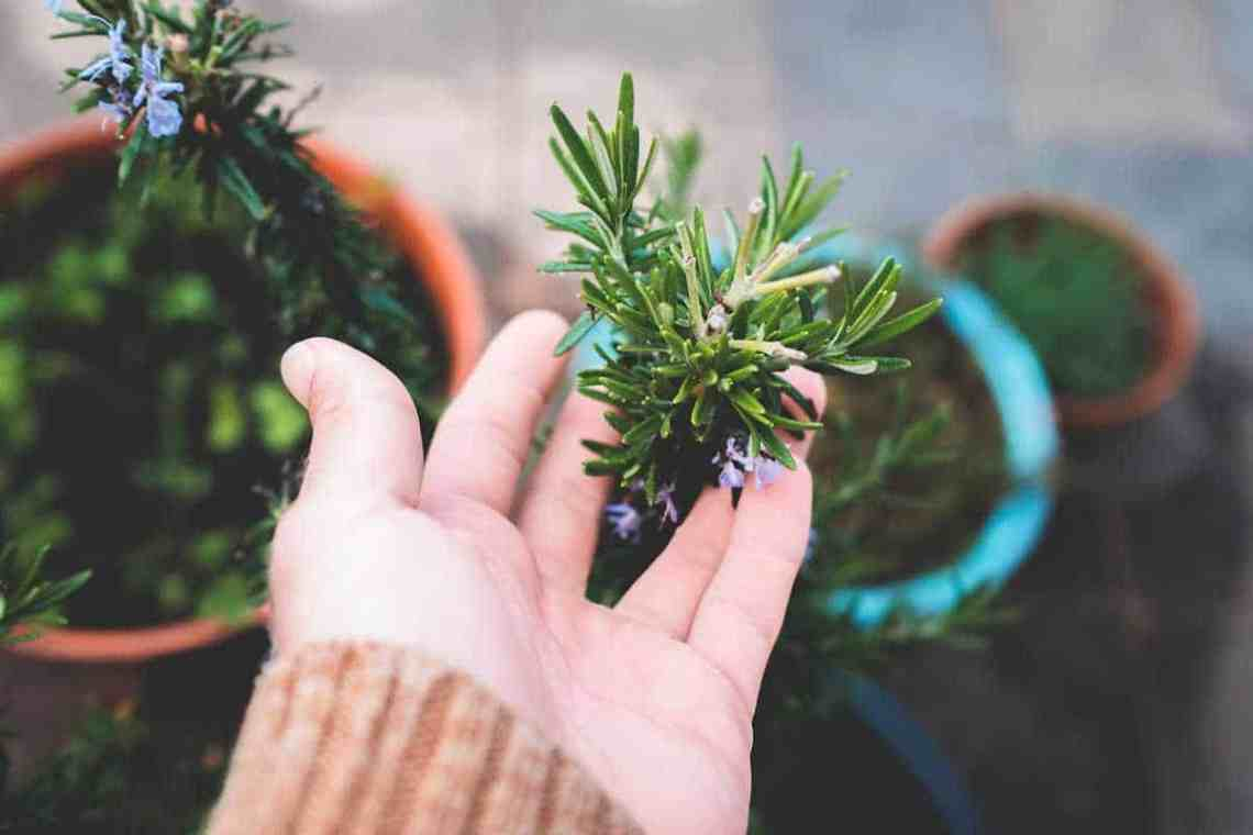 rosemary growing in containers for space saving gardens