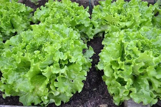 fast growing veg lettuce
