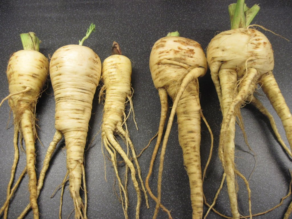 why do parsnips fork