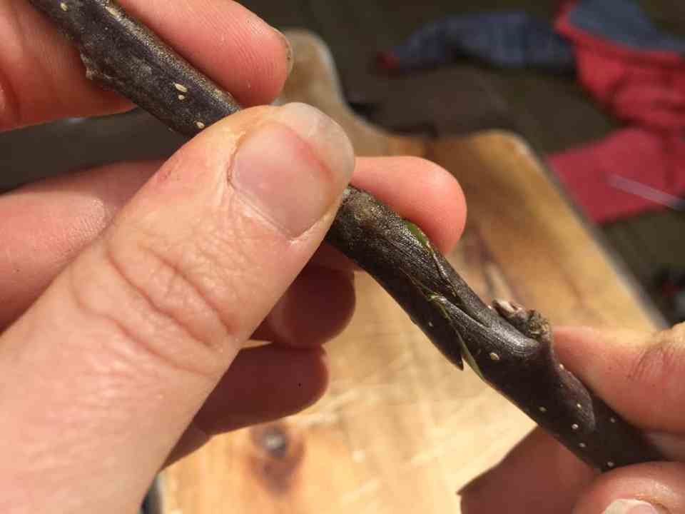 Fruit Tree Grafting: Whip and Tongue Grafts and Chip Budding