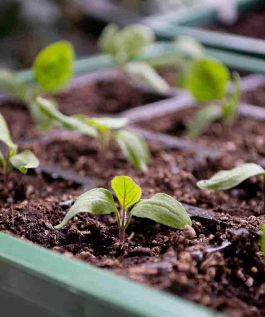 spring seedlings inside