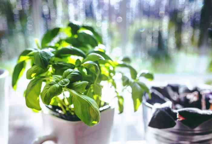 start to growthe herb basil today