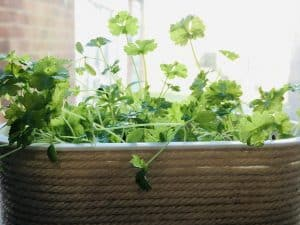 Planters for parsley that fit on your windowsill