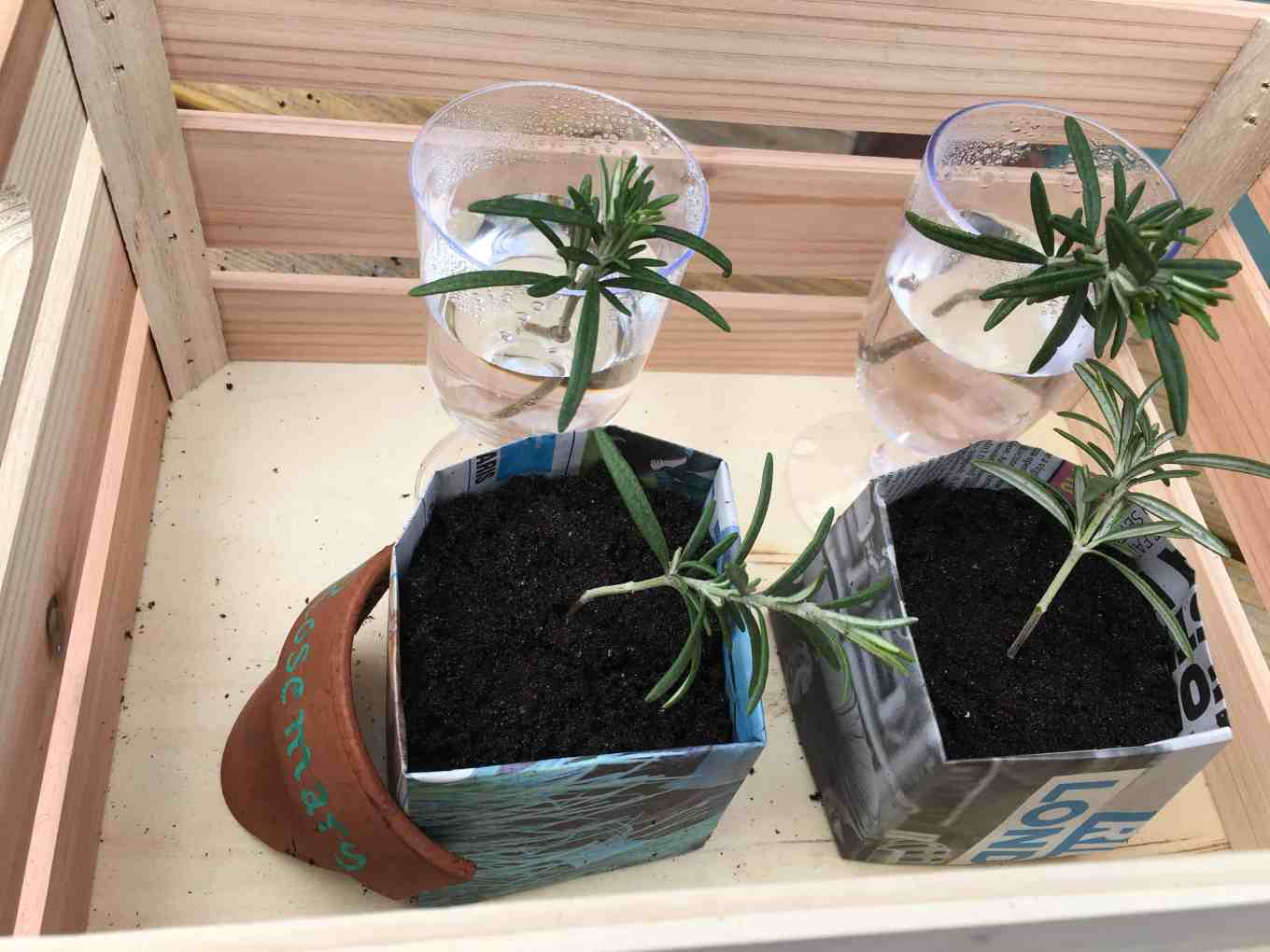the experiment to see how well the rosemary cuttings propagate has started!