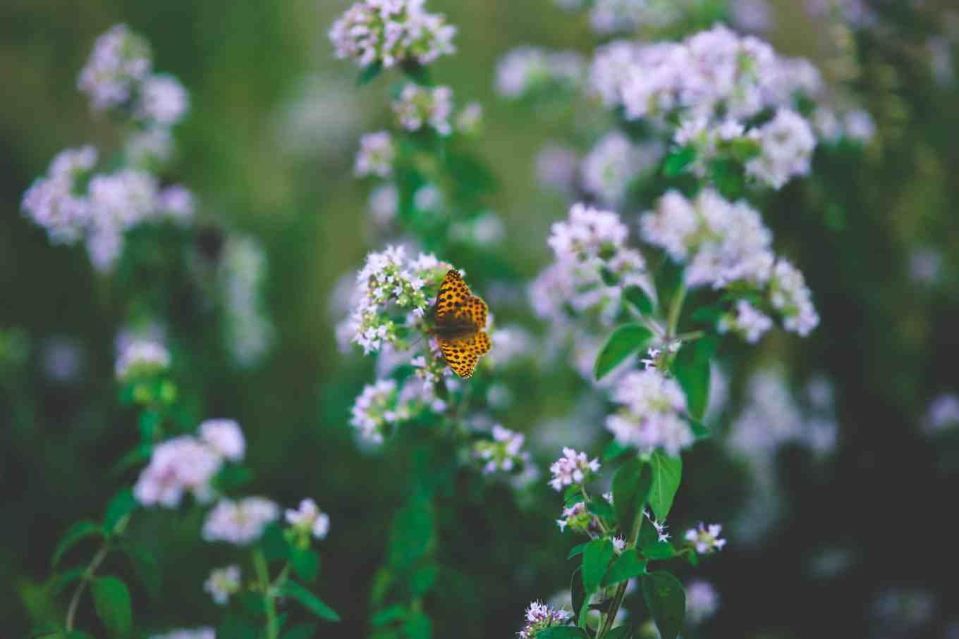 best herbs for flowering and pollinators