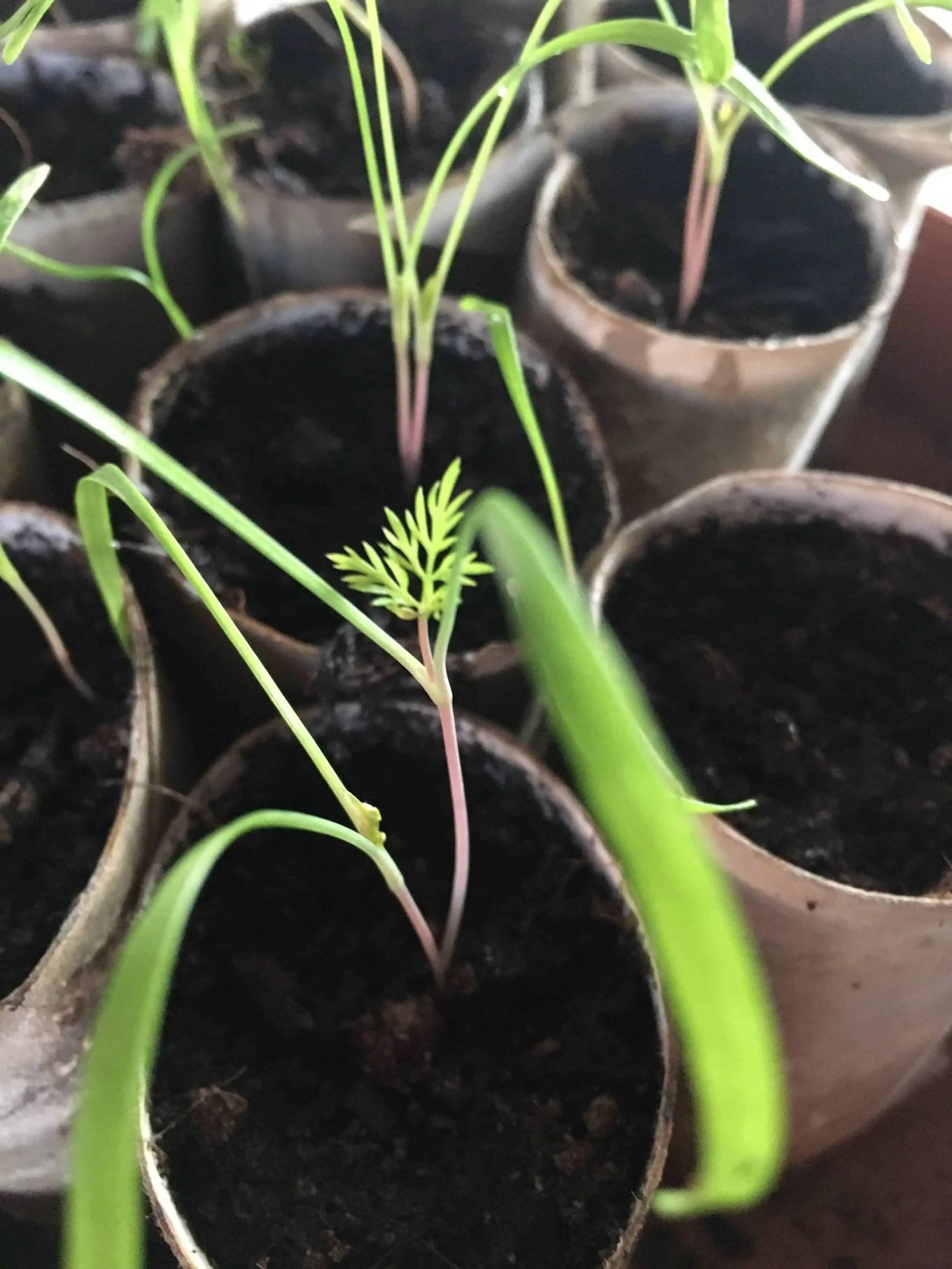 fennel grown indoors