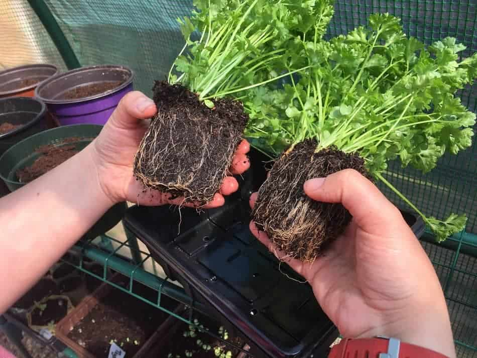 dividing supermarket bought parsley