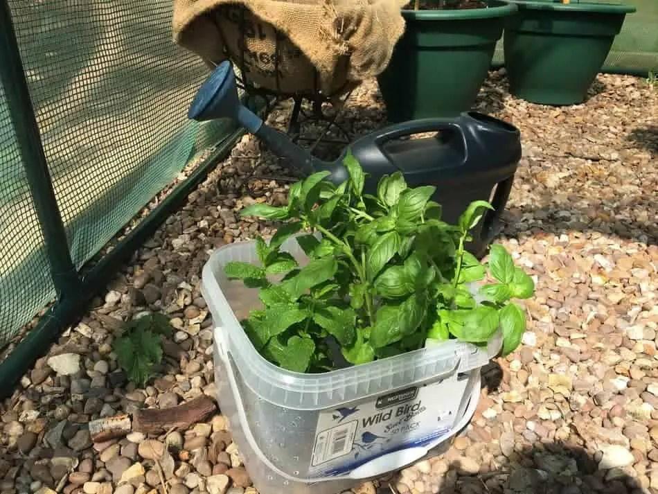 supermarket herbs need a little help