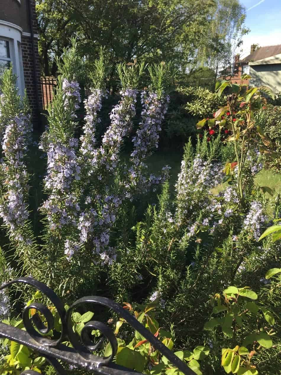 flowering rosemary shrub with gate