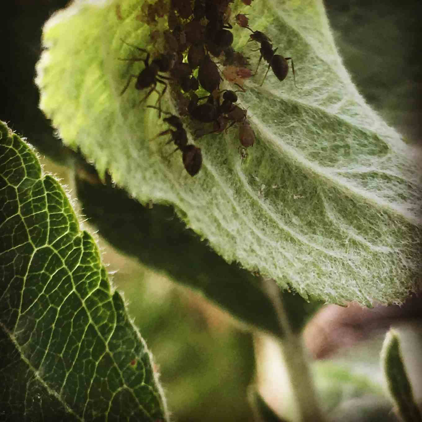 ants and aphids on our apple tree leaves