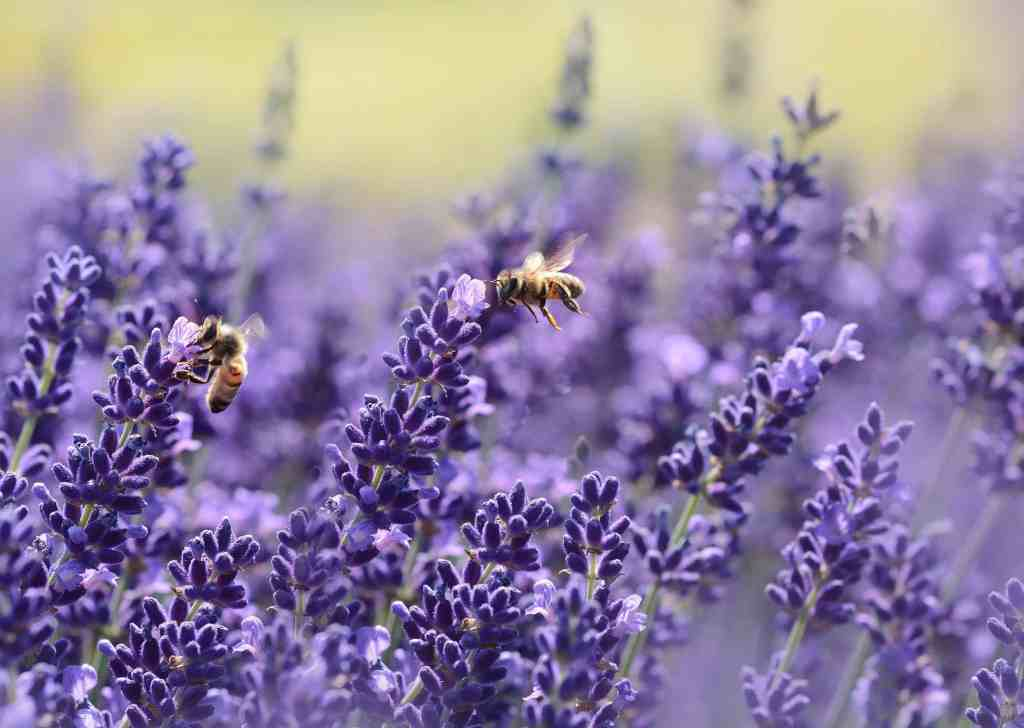 green manure paves the way for bees