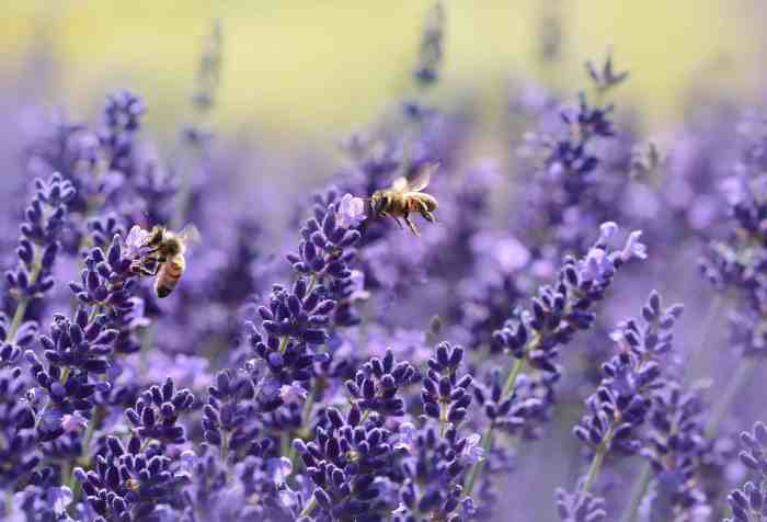 lavender paves the way for bees