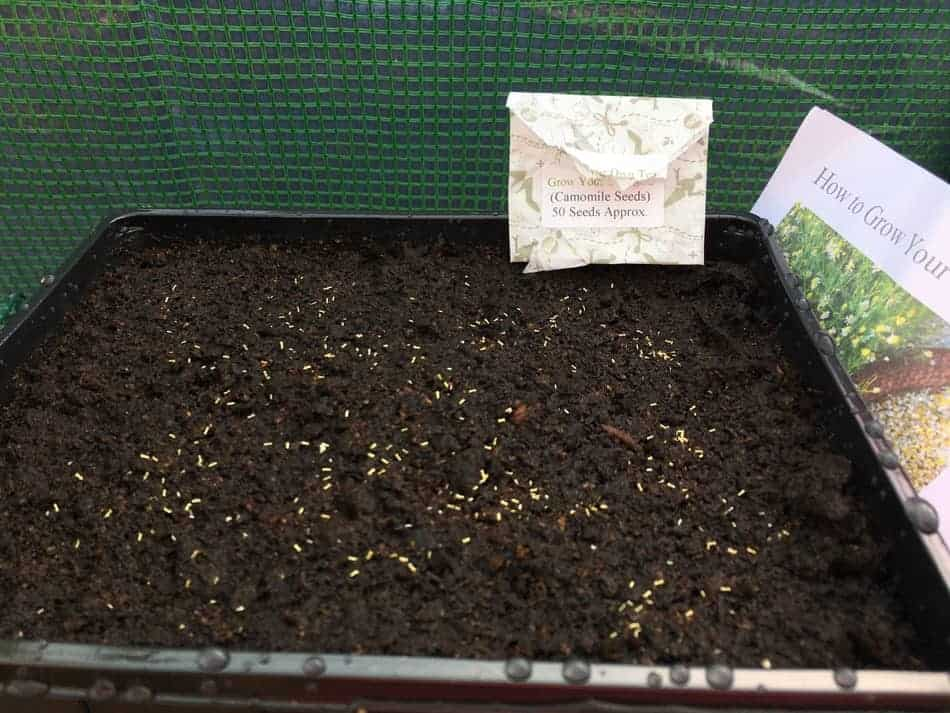 tiny little chamomile seeds ready to germinate
