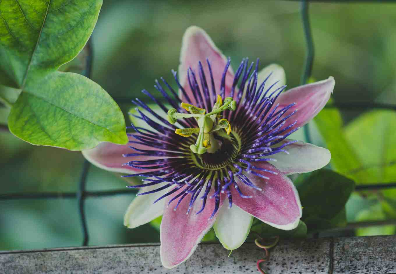 known to ease general anxiety disorders passion flower or pasiflora