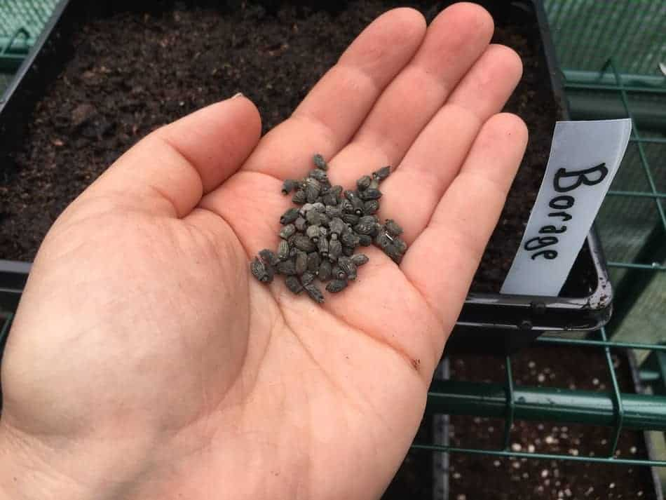 Borage seeds are quite large for a self seeding herb