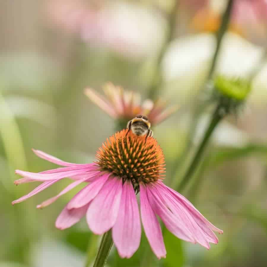 echinacea herbal tea is sweet and the bees love the flowers too