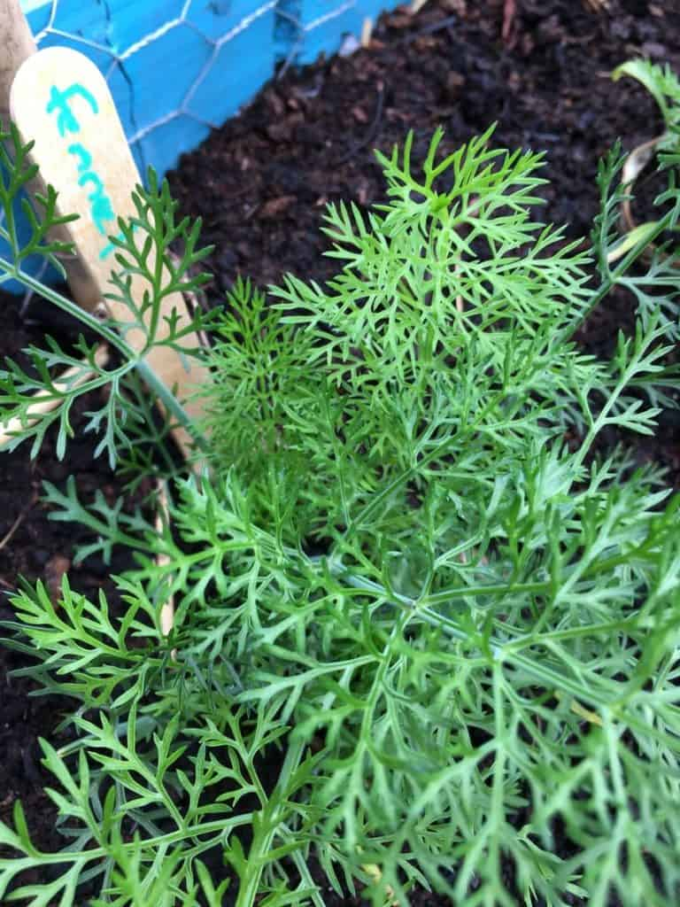 fennel in situ